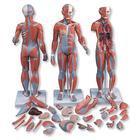 Mô Hình Giải Phẫu Cơ Toàn Thân 33 Phần